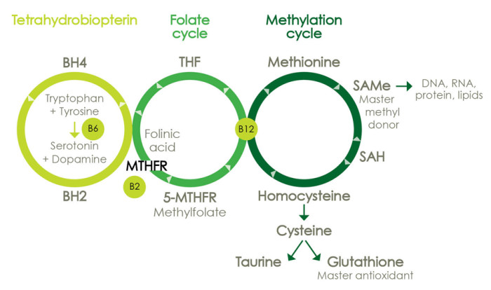 MTHFR TetraFolateMethyl Cycle